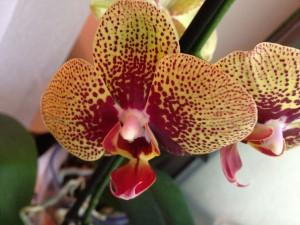 Phalaenopsis Karin Aloha